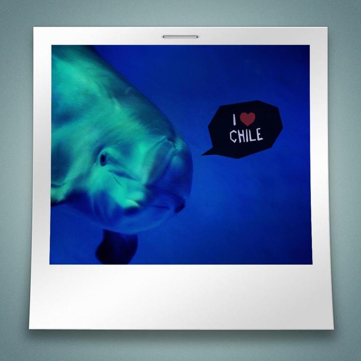 I Love Chile. Delfín.