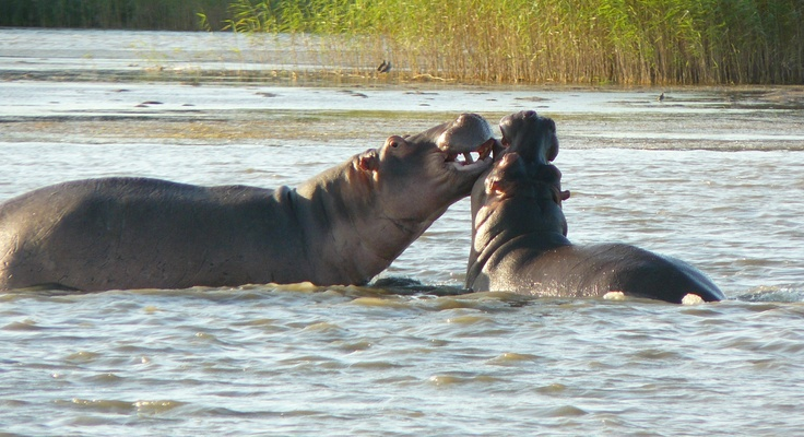 Hippos. St Lucia, South Africa.