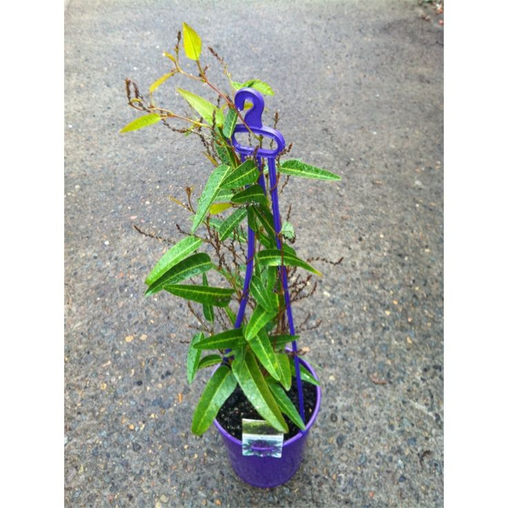 Find 200mm Hardenbergia Happy Wanderer at Bunnings Warehouse. Visit your local store for the widest range of garden products.