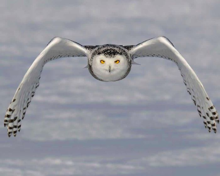 Image Result For Snowy Owls Pictures New Snowy Owl Audubon Field Guide
