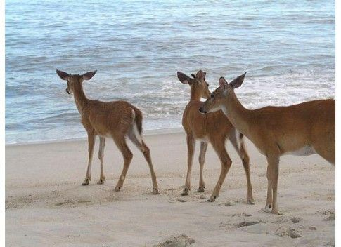 Deer on the Beach- Fire Island, New York