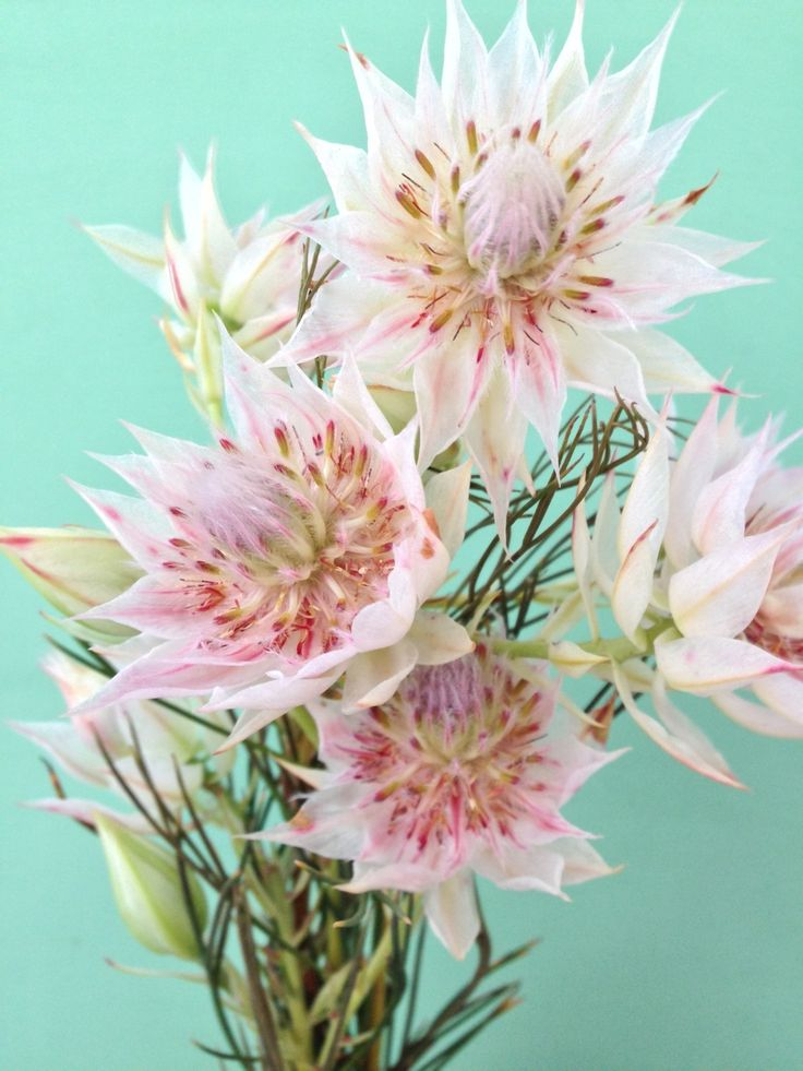 """Blushing Bride"" protea. Beautiful and beautifully expensive."