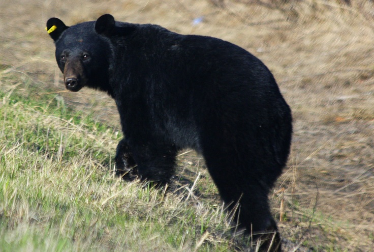 A young Black Bear.  Just south of Thunder Bay, ON  ... close to the Ontario/Minnesota border.