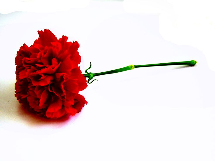 Image result for red carnation