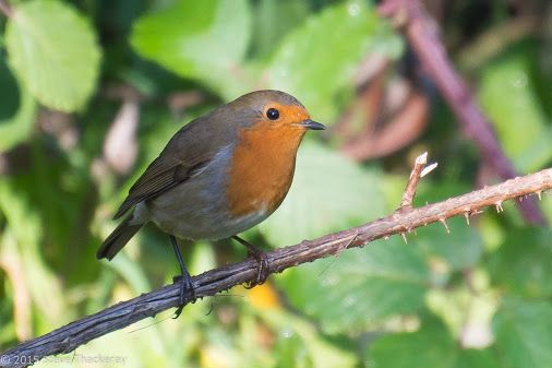 At last, the robin's are out and singing again! by Stephen Thackeray | Google+
