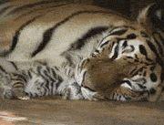Newborn Tigers Are So Tiny, a beautiful gif of a majestic MaMa Tiger