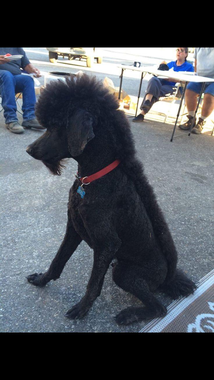 Poodle with a Mohawk aka Walter Dog mohawk Poodle dog