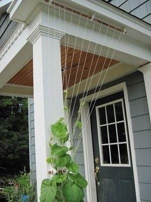 Temporary trellis for morning glories or other annual vines by pamela