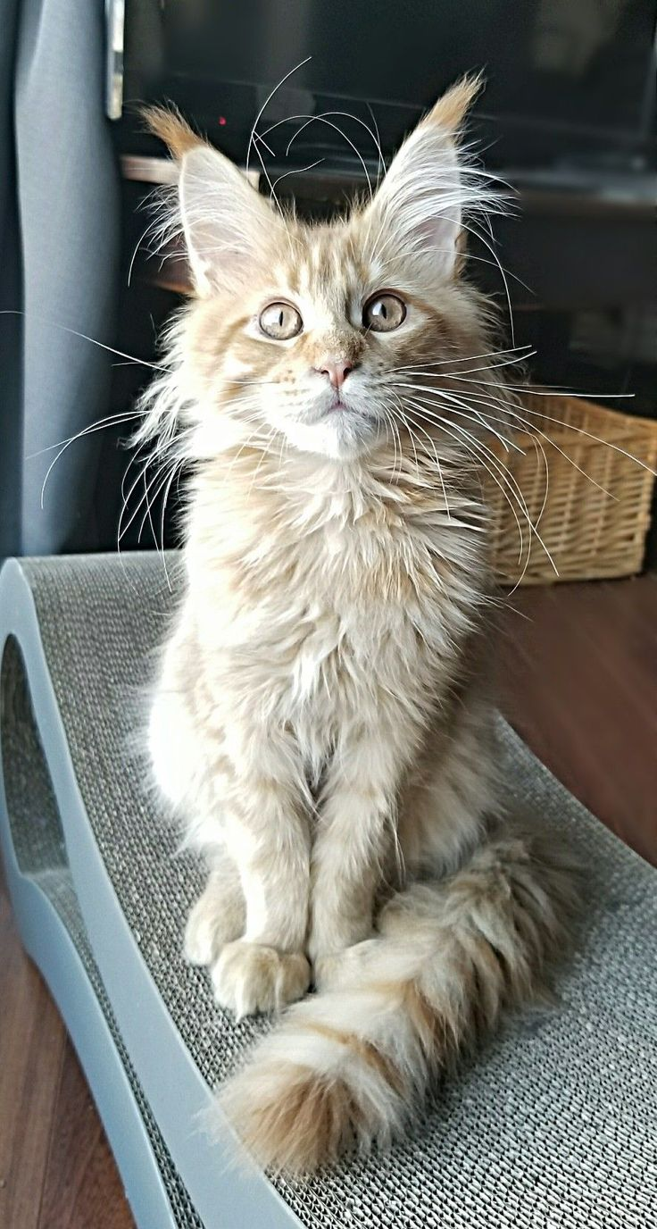 1117 Best Maine Coon Kitties Images On Pinterest Kitty Cats Animais And Animales
