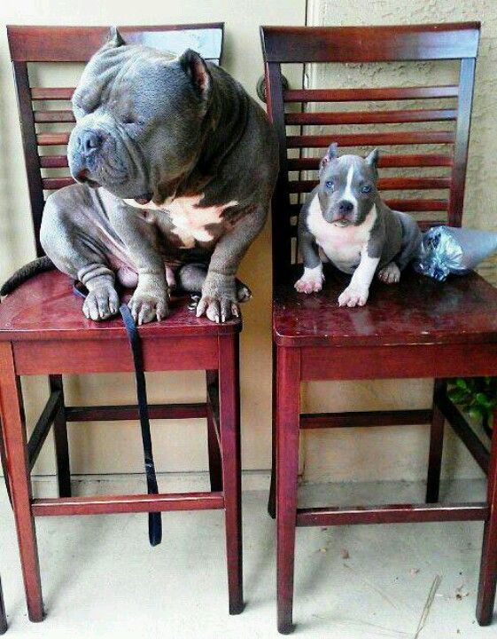 Pitbull (blue bullies) their heads are ginormous.