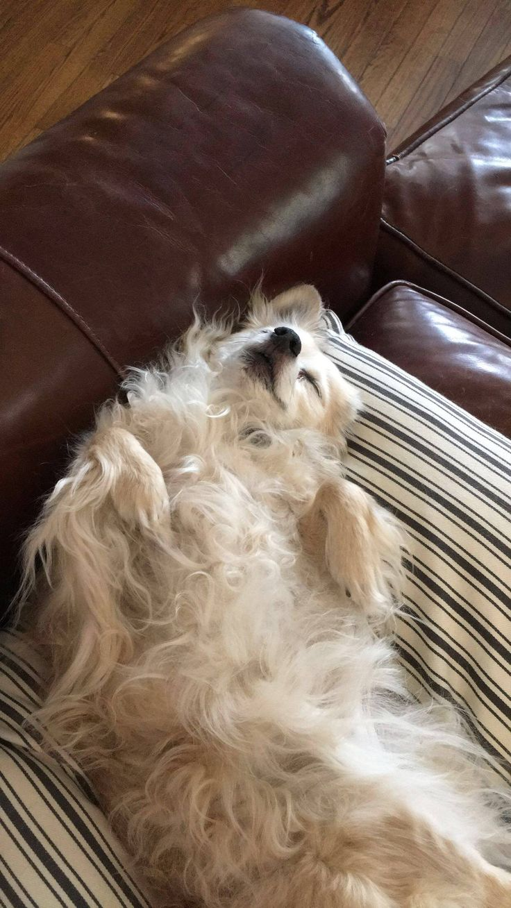 My 14 y/o Chihuahua loves sleeping on his back  http://ift.tt/2i2tEER