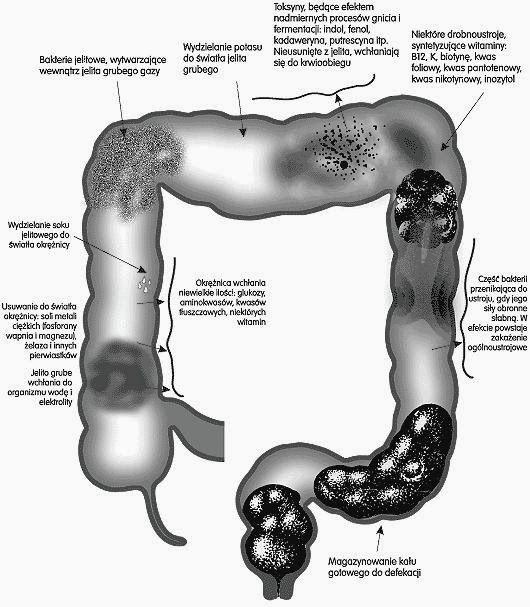 UZDROWICIELE BIOTERAPIA AKUPRESURA ZIOŁOLECZNICTWO EGZORCYZMY: Oczyszczanie jelita grubego podstawą zdrowia