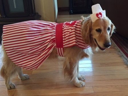 Candy Striper and Nurse big dog costumes for therapy dogs or to dress up your dog on Halloween, parades and parties.