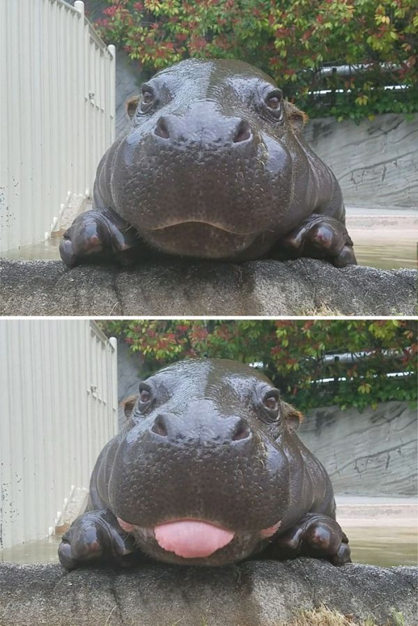 (Image Link)Full grown hippos can be fearsome and dangerous creatures despite their pleasantly plump appearance and the fact that they look like they're smiling when they open their maws, but baby hippos are just plain adorable.(Image Link)They have yet to adopt the angry and aggressive attitude full grown hippos use to scare off predators and humans who might cause them harm, and the smiles on their cute little faces seem to be genuine.(Image Link)So bask in the glory of these bubbly bab...