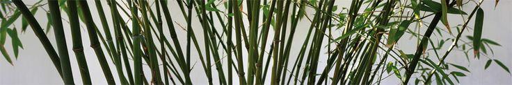 Bambus (Nr.5819) • BAMBUS XXL • Wald • Bildgalerie • Berlintapete • Individuelle Produktion von Fototapeten - Wallpaper on Demand - Designtapeten - Pictures & more