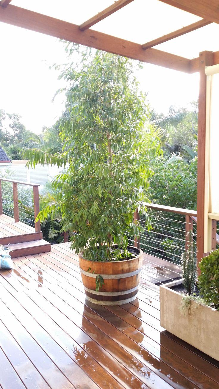 Waterhousia in recycled wine barrel
