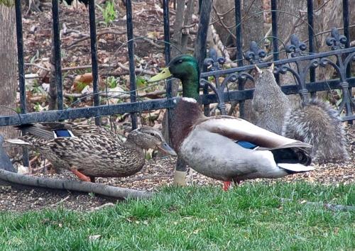 Action at my backyard feeder   photo Tatiana Dokuchic   post Bird Blog: Meet Mr & Mrs Mallard