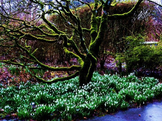 Garden Design Ideas Glasgow : Spring snowdrops at greenbank garden glasgow