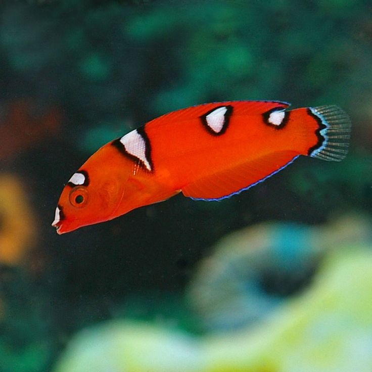 17 Best Ideas About Reef Safe Fish On Pinterest