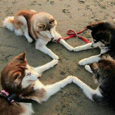 Huskies with wooly fur at the beach