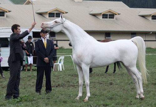 SS Abida, 2006 Arabian mare. Born white, from a conservatively-marked chestnut sire and a grey dam. She was in the Top Five at the New Zealand National Arabian Championships in 2011.