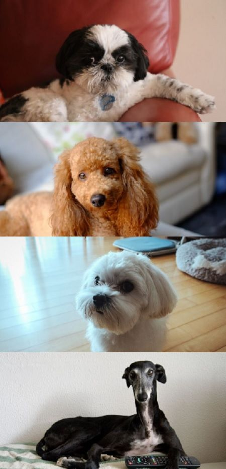 Top 10 Dogs For Apartments Or Condos Dog Pets