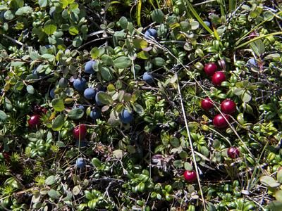 Berries follow the wildflowers and carpet the Island from late summer into the fall.