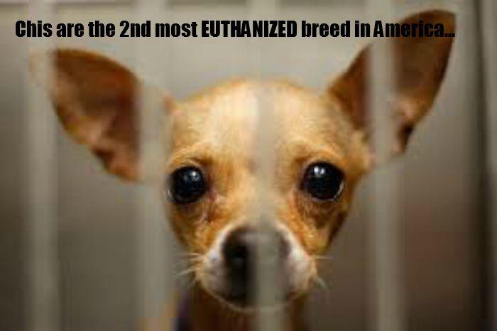 20 Chihuahua Memes That Will Make You Cry Cute Chihuahua