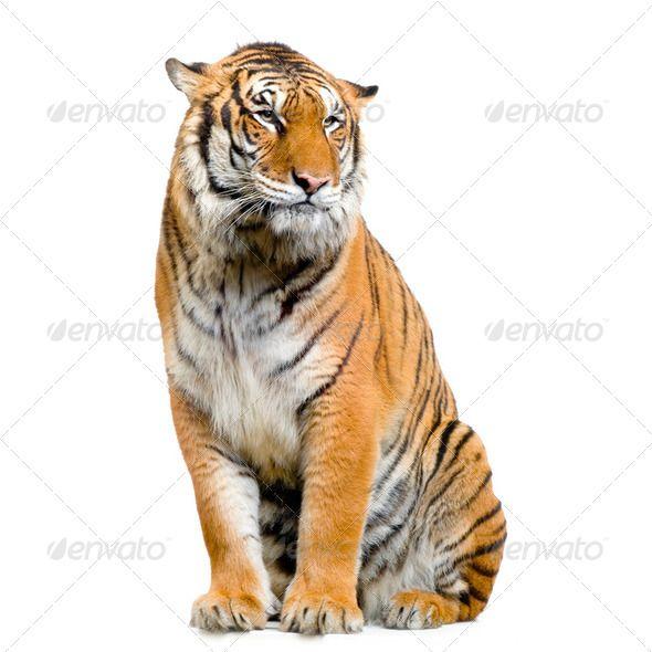 Tiger Sitting Tiger Illustration Pet Tiger Lion Images