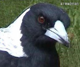 This is an Australian magpie it is an omnivore