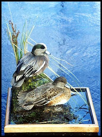Taxidermy Net: Gallery of Wildlife Art