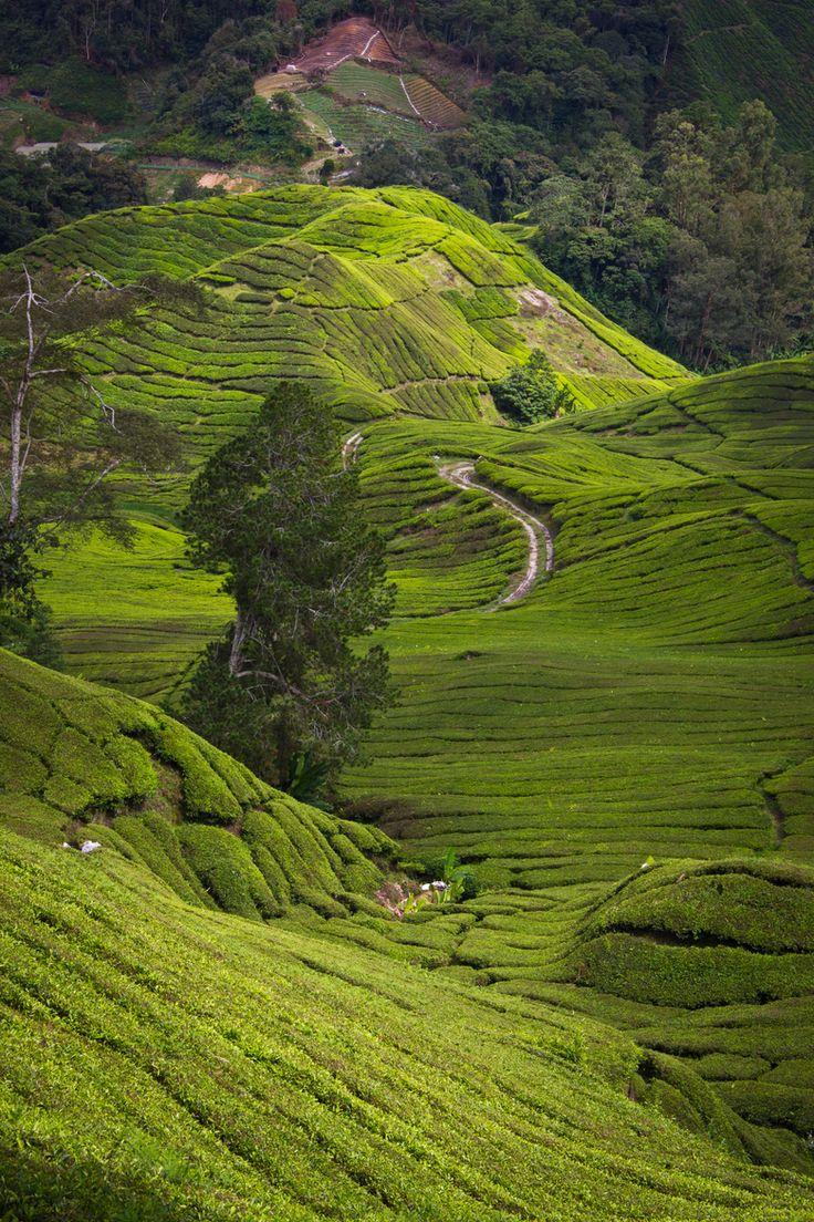Tea Plantages Cameron Highlands, Malaysia Cameron
