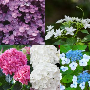 HYDRANGEA COLLECTION - Garden Express