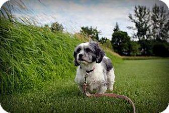 Newcastle, ON - Lhasa Apso. Meet Gracie, a dog for adoption. http://www.adoptapet.com/pet/11348702-newcastle-ontario-lhasa-apso