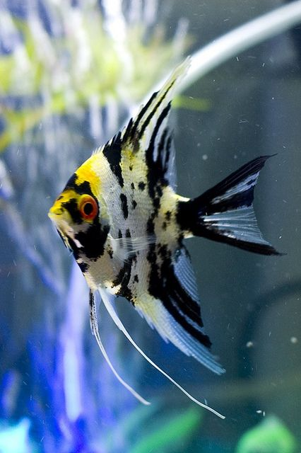 Marble Angelfish (pterophyllum scalare) She's eye-balling you! ;-). They are one of the friendliest freshwater fish group. Mine will always come and greet me when I walk in the room or pass on by. I love them, there my little gems!