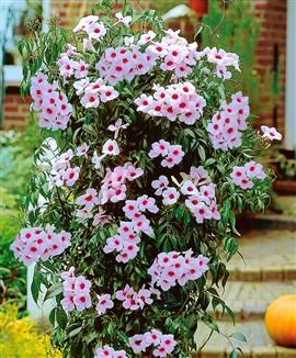 Pandorea jasminoides / Bower of Beauty