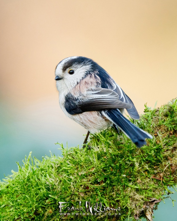 Longtailed Tit sitting in moss