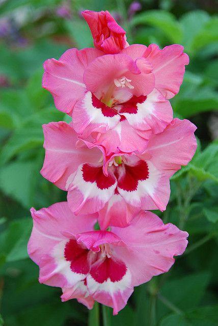 Gladiolus ~ Wine and Roses