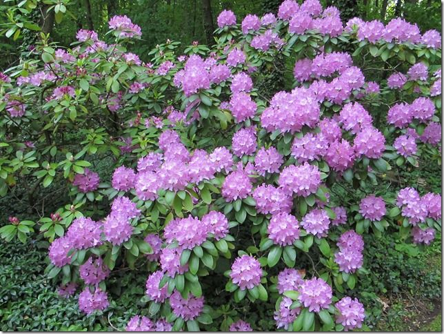 roseum elegans rhododendron very common variety they. Black Bedroom Furniture Sets. Home Design Ideas