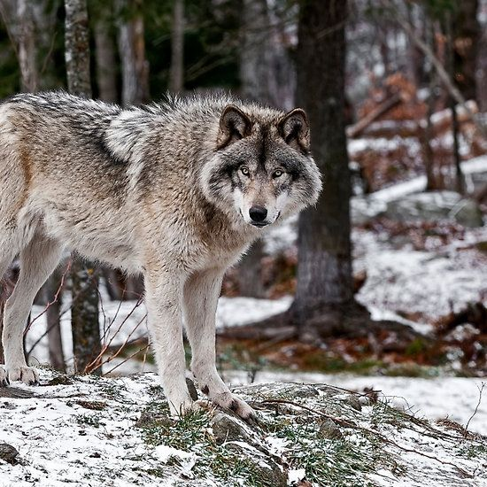 Timber Wolf | Timber W...