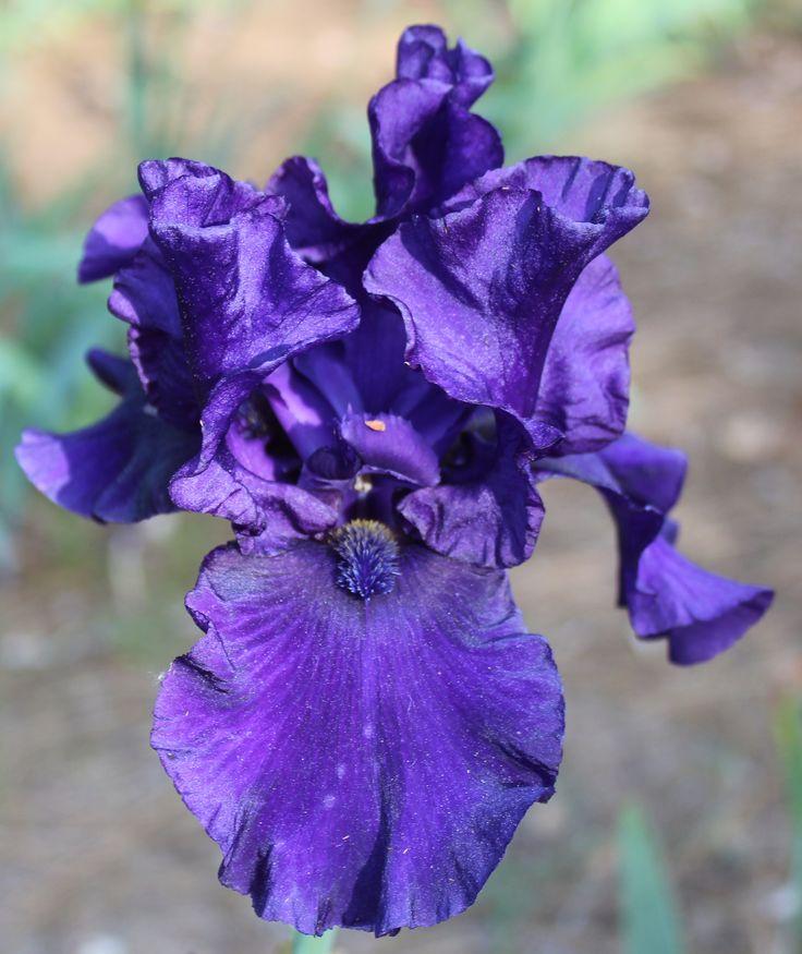 TB Iris germanica 'Black Orpheus' (Schreiner, 1987)
