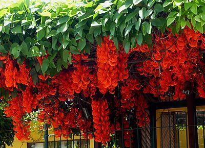 A jade-vermelha é uma trepadeira escandente, tropical, vigorosa e de florescimento espetacular. Seu caule é volúvel, ramificado e inicialmente herbáceo, ma