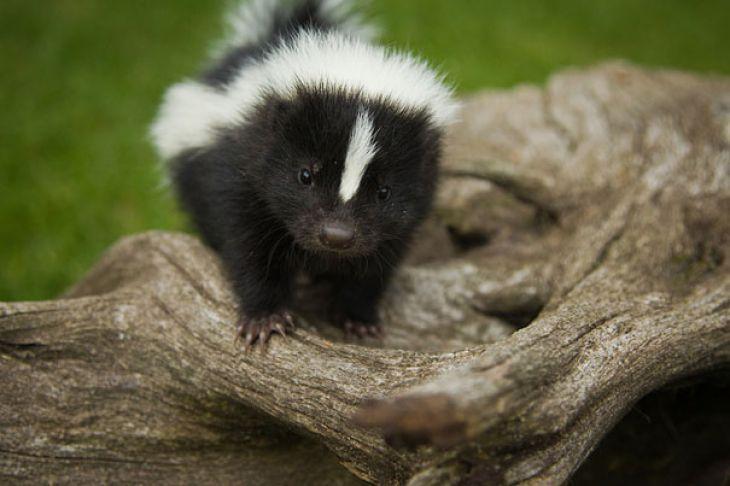 Dziecko skunksa