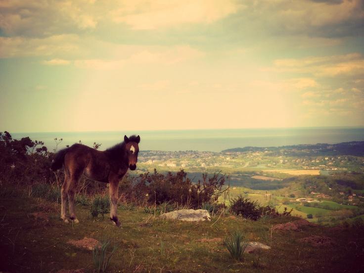 Pottok, petit cheval du Pays Basque, sur la montagne de Ciboure avec panorama sur la côte basque, Urrugne, Pays Basque, 64  www.urrugne.com