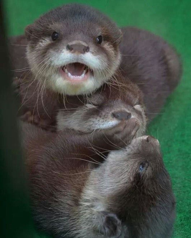 When U Accidentally Hit Ur Sibling And Ur Trying To Comfort Them Before Mom Hears U In 2020 Cute Animals Otters Cute Animals Beautiful