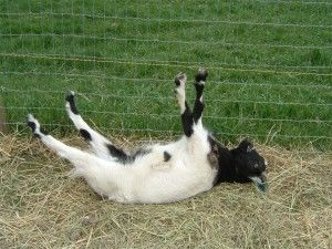 fainting goats are more properly called Myotonic goats. The breed is best known because its muscles momentarily freeze for several seconds when the goat feels frightened.