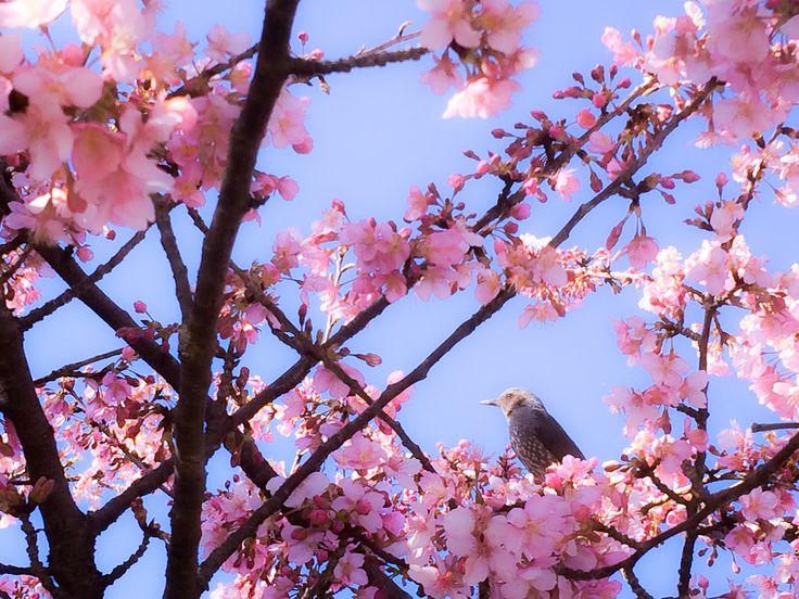 河津桜とムクドリ