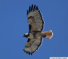 Red-tailed Hawk — Birds of North America Online