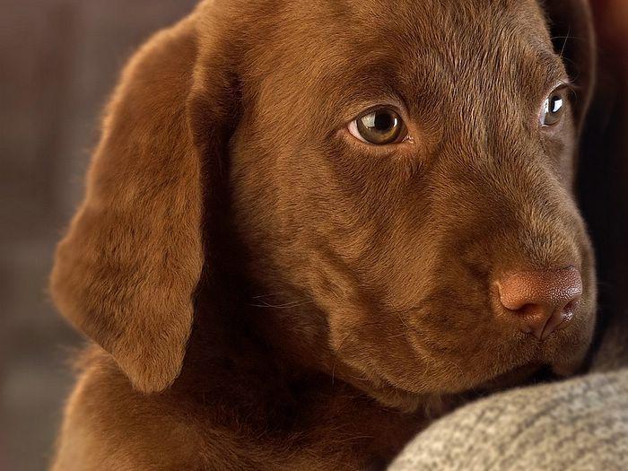 Brown Labrador Retriever - Bing Images
