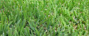 Zenith Zoysia Grass